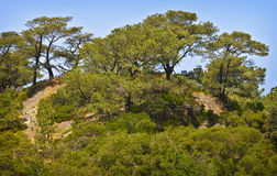 Torrey Pines Trees on Cliff, California. Pine trees in Torrey Pines State Natural Reserve in  San Diego, near Del Mar and La Jolla,  stand on a hillside near the Royalty Free Stock Photo