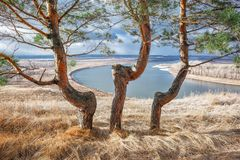 pines trees royalty free stock photo