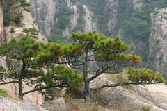 Pines trees on mountain. Scenic view of pine trees on mountainside Royalty Free Stock Photos