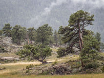 Pines trees in rmnp Royalty Free Stock Image