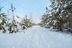 Pines Trees, Strewn With Snow, Along Road With Falling Snowflake stock image