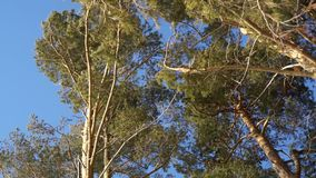 Pines under the blue sky. Pines trees under the blue sky stock video footage