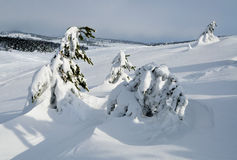 Pines under snow Royalty Free Stock Photo