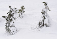 Pines under snow Stock Images