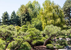 Pines and Weeping Willows in Park stock photography