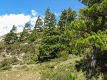 Pines in windy valley of Kali Gandaki, Nepal Royalty Free Stock Photo