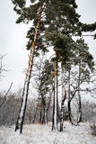 Pines in winter forest Stock Photos