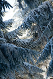 Pines during winter season, Bulgaria Royalty Free Stock Photo