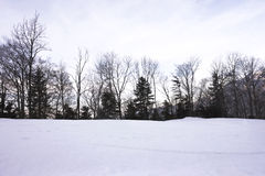 Pines in winter. With snow-covered background Royalty Free Stock Photo