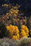 Pines and Yellow Aspens Royalty Free Stock Image