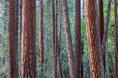 Pines in Yosemite National Park Stock Photos