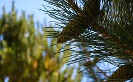 Pines Stock Photo