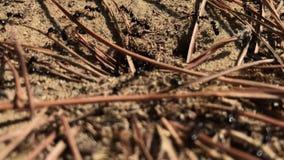 05 09 2018 Pineto, Abruzzo, Ιταλία - τα μαύρα μυρμήγκια τοποθετούνται στο πάρκο πεύκων σε μια ηλιόλουστη ημέρα απόθεμα βίντεο