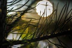 Pinetree在日落的森林里在芬兰 库存图片