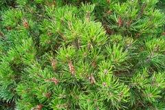 Pinetree Stock Image