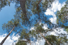 Pinetree Royalty Free Stock Photography