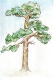 Pinetree Photographie stock