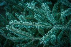 Pinetree Immagini Stock