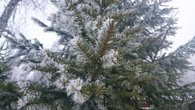 Pinetree Imagem de Stock