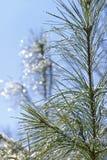 Pinetree avec des baisses de glace et de l'eau Photographie stock