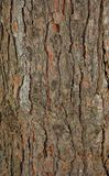 Pinetree bark texture. Brown and gray pinetree bark texture Royalty Free Stock Photo