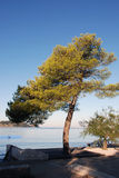Pinetree on the beach Royalty Free Stock Image