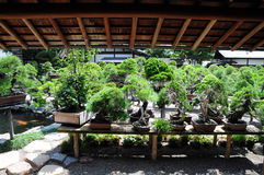 Pinetree Bonsai. Bonsai is an art of Japan which control plants to its small state. A lot of them would last hundred of years Stock Image