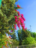 Pinetree and Bougainvillea flowers Royalty Free Stock Images