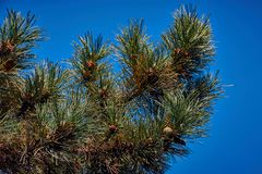 Pinetree branch against blue sky stock images