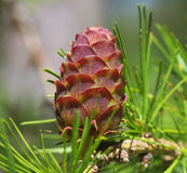 Pinetree branch with a cone. Pine tree branch with a single fresh cone, close up Royalty Free Stock Image