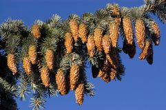Pinetree branch with cones Stock Images