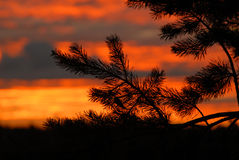 Pinetree branch  silhouette Stock Photos