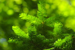 Pinetree branches Stock Image