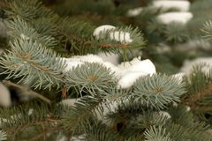 Pinetree branches covered with snow. First snow of the season Royalty Free Stock Image
