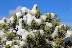 Pinetree cobriu com a neve Imagens de Stock Royalty Free