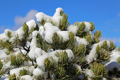 Pinetree covered with snow. Tree covered with snow in winter on blue sky Royalty Free Stock Images