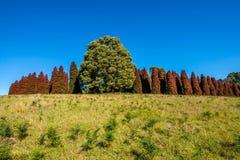 Pinetree di rosso di autunno Immagine Stock Libera da Diritti