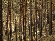 Pinetree forest. In autumn in la rioja Stock Photography