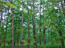 Pinetree Forest Stock Photos