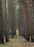 Pinetree Forest. Shot of autumn pine tree forest Stock Photo