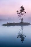 Pine tree in mist in marsh in Estonia stock photo