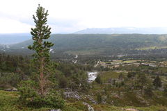 Pinetree. Landscape in National park in Norway. Royalty Free Stock Photography