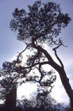 Pinetree op een ruïne Royalty-vrije Stock Afbeelding