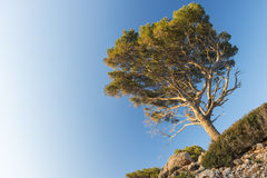 Pinetree Royalty Free Stock Photo