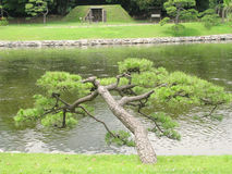 Pinetree over a river in Tokyo garden Stock Photography
