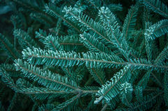 Pinetree Stock Images