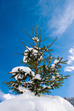 Pinetree with snow. Snow covered pinetree against blue sky Stock Photography