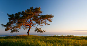 Pinetree at sunlight. A photo of a single large pinetree on a grass field behind of which is a sea. Rising sun lightens the tree and ground with warm tones Stock Photo