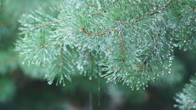 Pinetree and water drops. Water drops on pinetree branches, close-up stock video footage