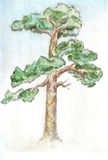 Pinetree Stock Photography